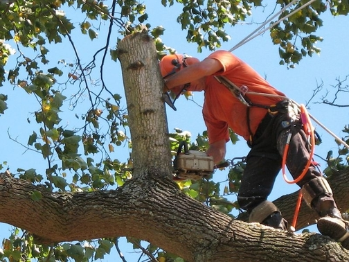 Tree climber with safety gear trimming a large tree in New Bedford, MA