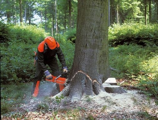 Employee with safety equipment cutting the base of a age tree in New Bedford, MA